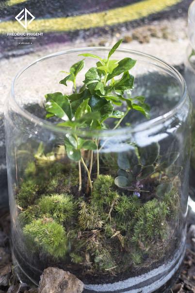 Terrarium Coffea Arabica