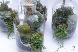 terrarium, succulentes, plantes grasses, mini cactus séneçon de rowley, Hatiora salicornioides, joubarbe